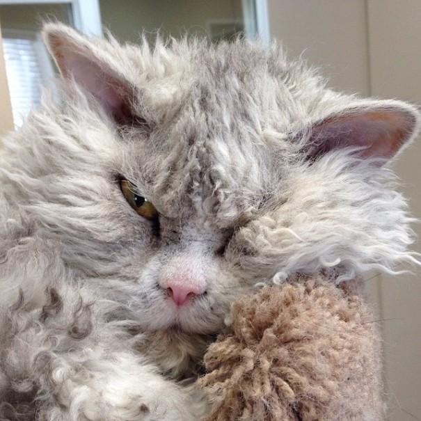 bitchy-resting-face-sheep-cat-albert-13