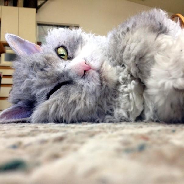 bitchy-resting-face-sheep-cat-albert-4