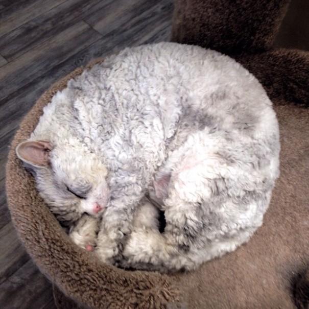 bitchy-resting-face-sheep-cat-albert-9