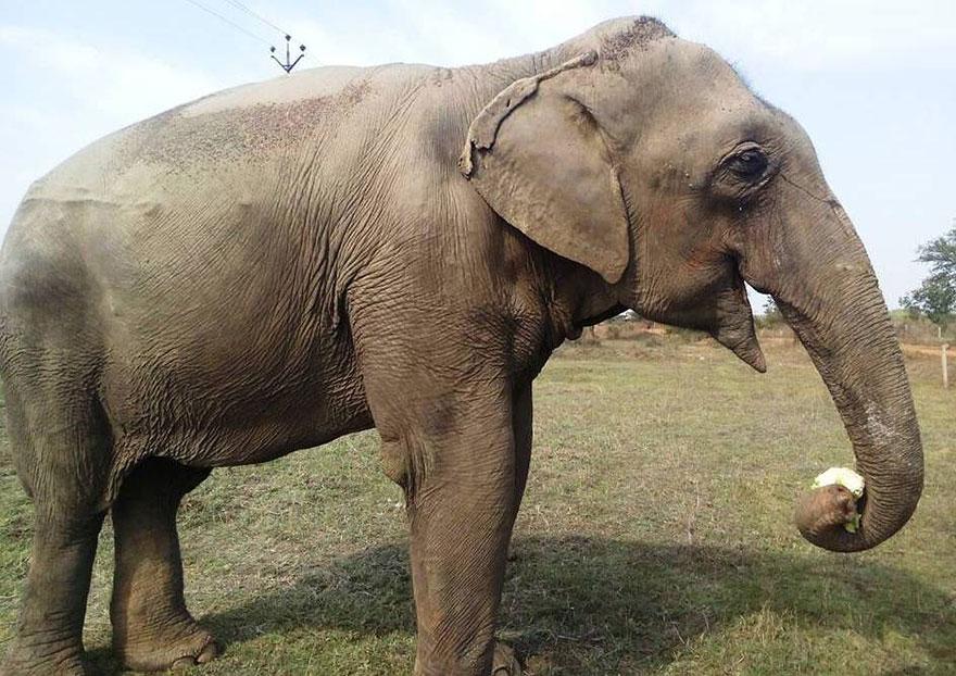 blind-beaten-elephant-lakhi-rescued-wildlife-sos-13