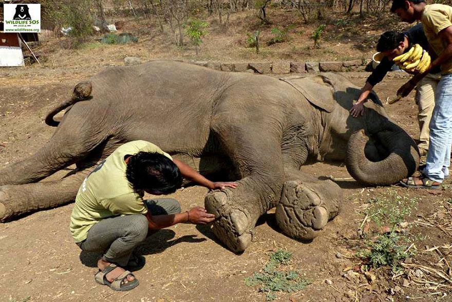 blind-beaten-elephant-lakhi-rescued-wildlife-sos-17
