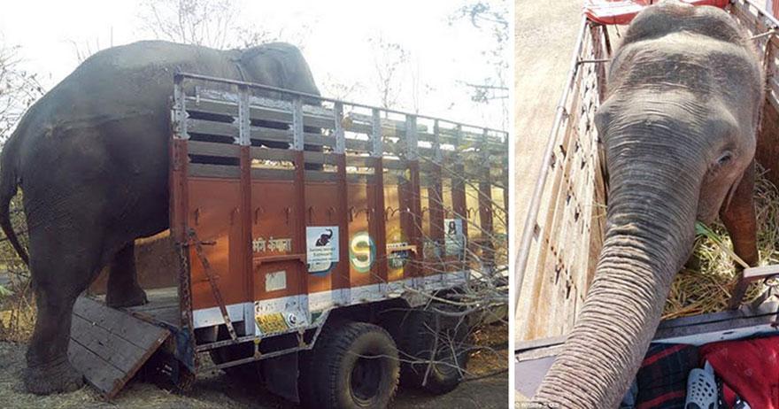 blind-beaten-elephant-lakhi-rescued-wildlife-sos-18