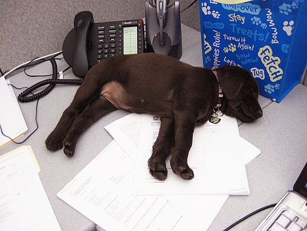 Kona Has Been Working On Paperwork All Day Long
