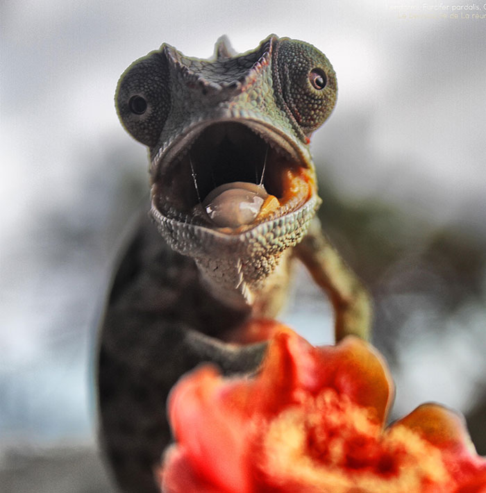 Chameleon Panthers Climbing Flowers Are Just Too Photogenic