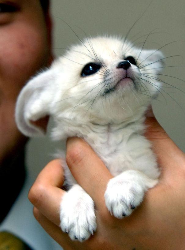 Fox del bebé