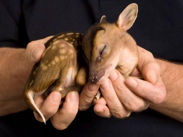 Ciervos del bebé
