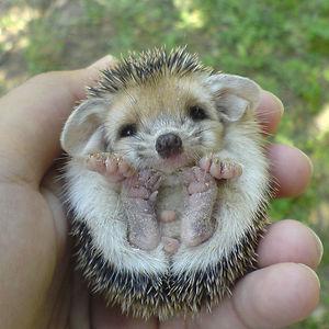 Baby Hedgehog