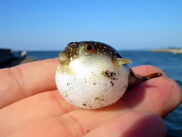 Baby Puff Fish In Palm
