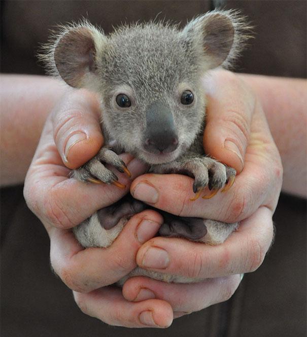 Bebé Oso de koala