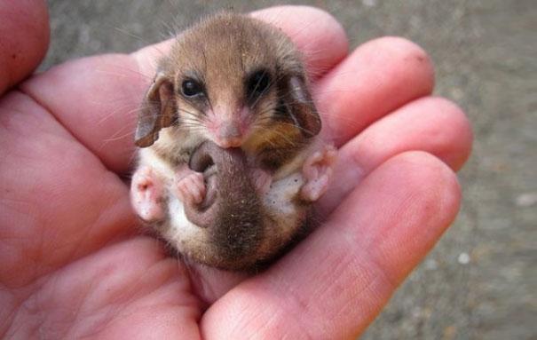 Pigmeo Possum