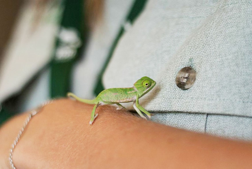 cute-baby-chameleons-hatch-taronga-zoo-sydney-9