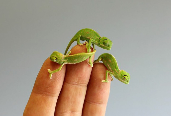 20 Newly Hatched Baby Chameleons Create Cuteness Overload ...
