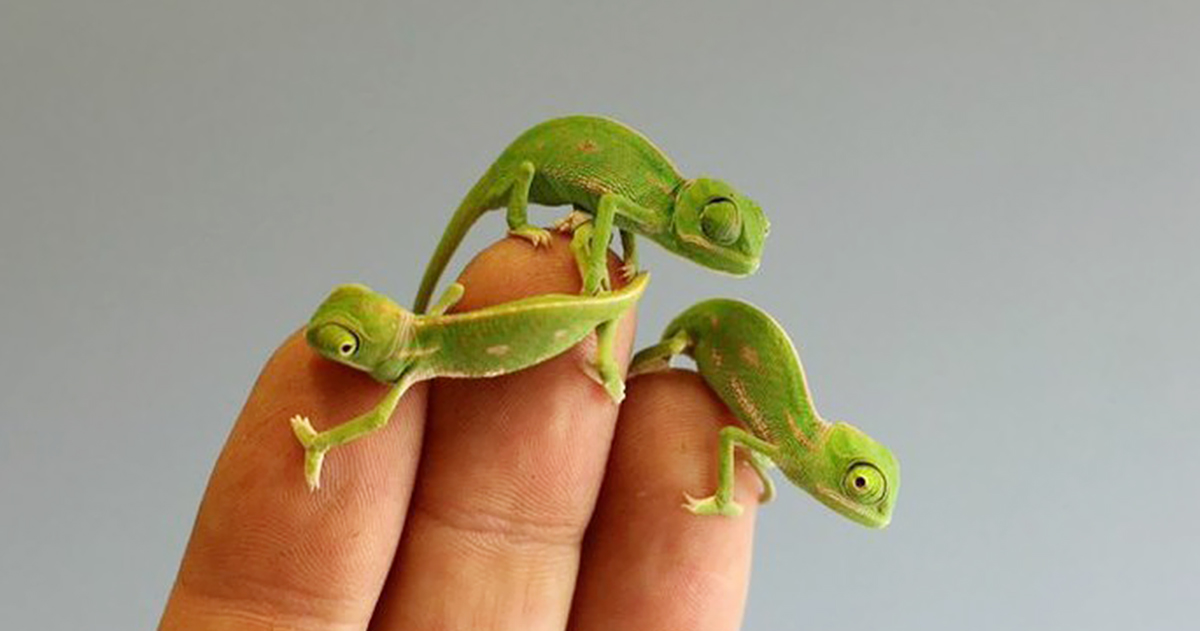 20 Newly Hatched Baby Chameleons Create Cuteness Overload Crisis At Sydney Zoo