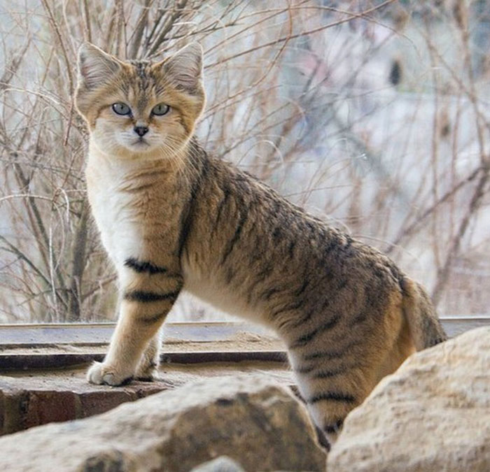Cats That Are Disappearing From The Wild