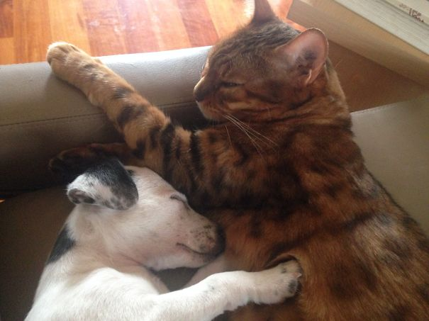 Bengal Cat And Jack Russell Puppy