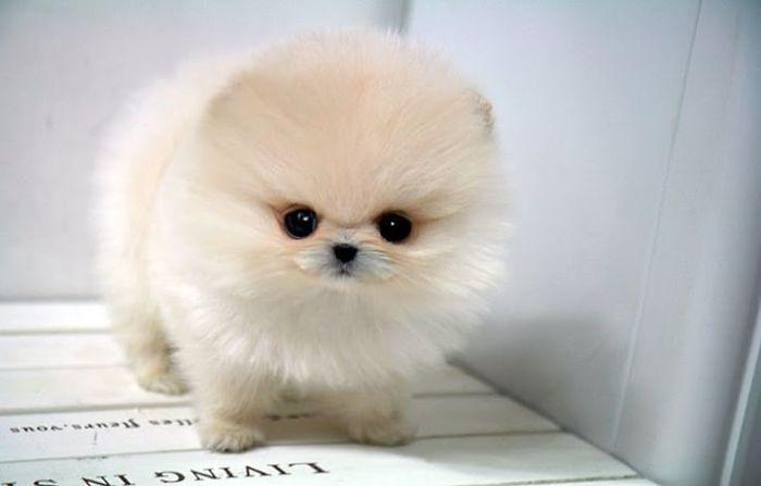 Meet A Cute Teacup Pomeranian