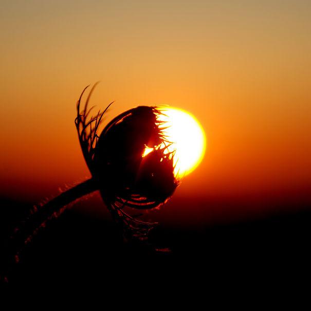 [ . Cretan.sun.flower . ]