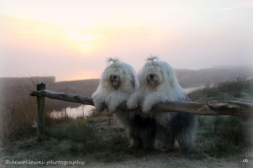 old-Inglês-sheepdog-dog-irmãs, Sophie-Sarah-cees-bol-1