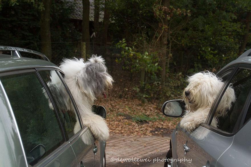 old-Inglês-sheepdog-dog-irmãs, Sophie-Sarah-cees-bol-13