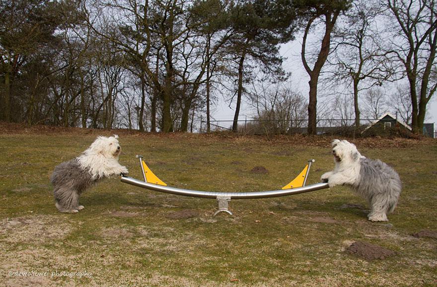 old-Inglês-sheepdog-dog-irmãs, Sophie-Sarah-cees-bol-19