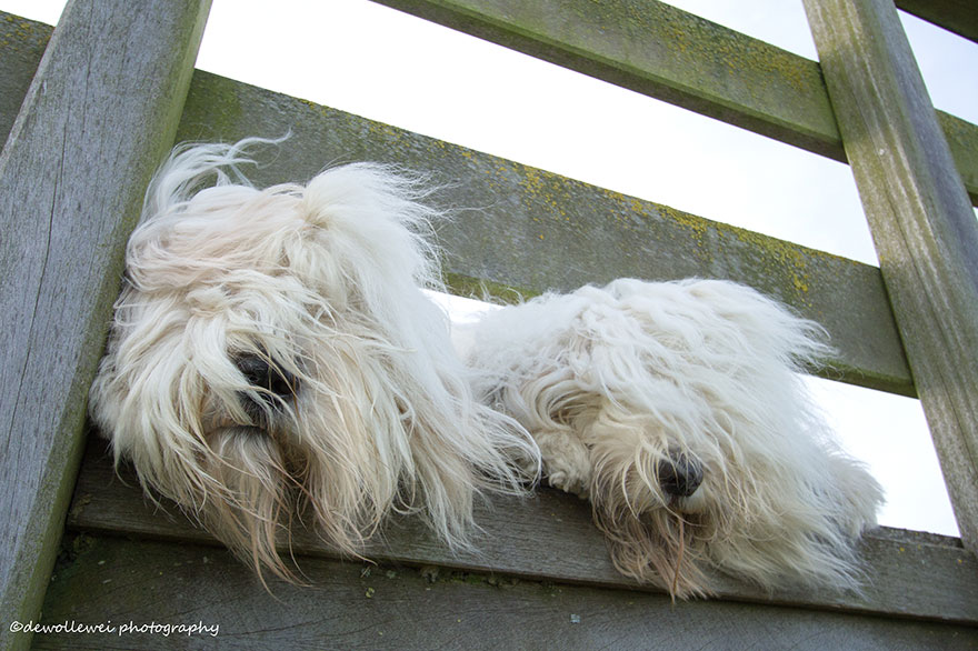 old-english-sheepdog-dog-sisters-sophie-sarah-cees-bol-22