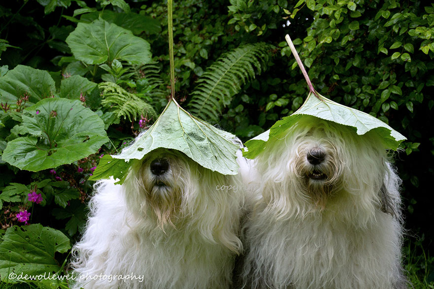 old-Inglês-sheepdog-dog-irmãs, Sophie-Sarah-cees-bol-23