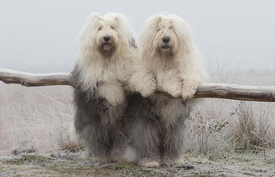 old-english-sheepdog-dog-sisters-sophie-sarah-cees-bol-26