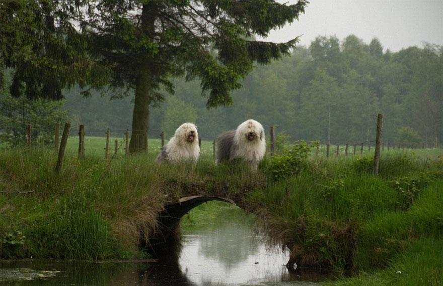 old-Inglês-sheepdog-dog-irmãs, Sophie-Sarah-cees-bol-27