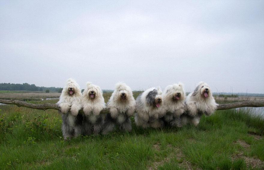 old-english-sheepdog-dog-sisters-sophie-sarah-cees-bol-28