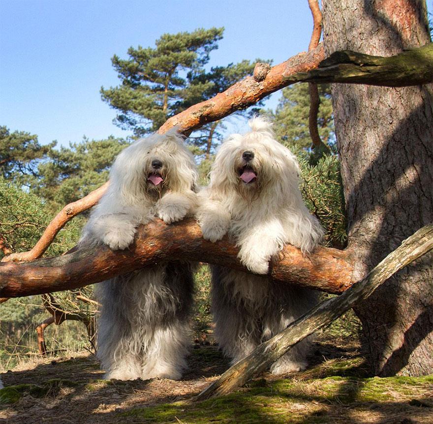 old-english-sheepdog-dog-sisters-sophie-sarah-cees-bol-29
