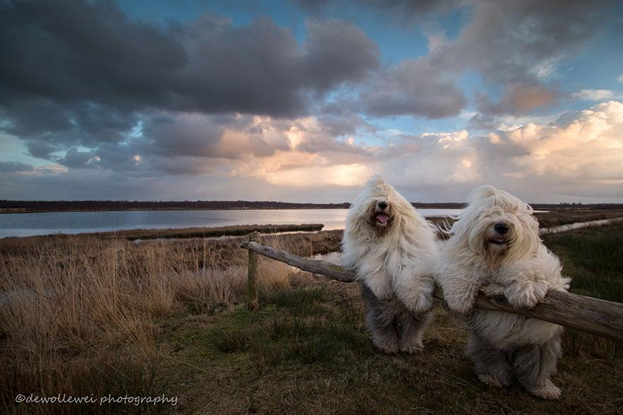 old-Inglês-sheepdog-dog-irmãs, Sophie-Sarah-cees-bol-3