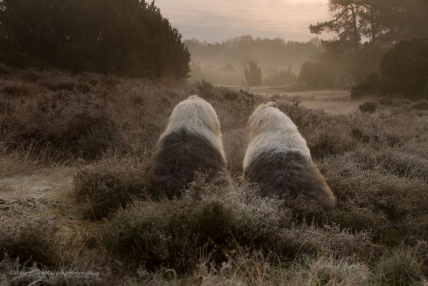 old-Inglês-sheepdog-dog-irmãs, Sophie-Sarah-cees-bol-4