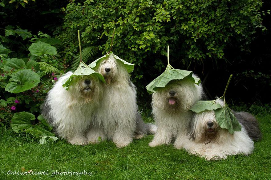 old-english-sheepdog-dog-sisters-sophie-sarah-cees-bol-5