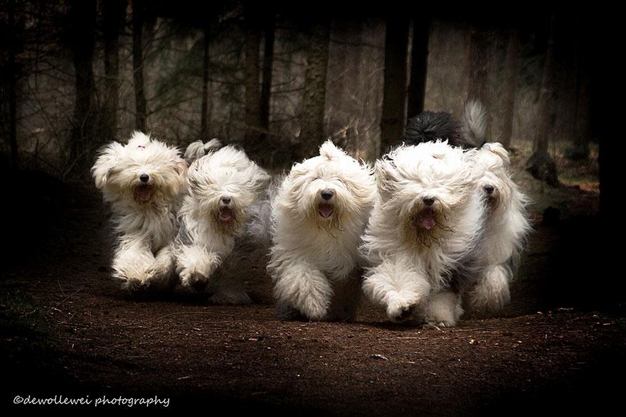 old-Inglês-sheepdog-dog-irmãs, Sophie-Sarah-cees-bol-6