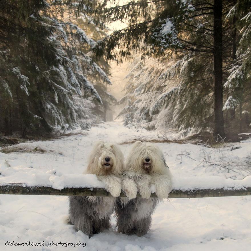 old-english-sheepdog-dog-sisters-sophie-sarah-cees-bol-7