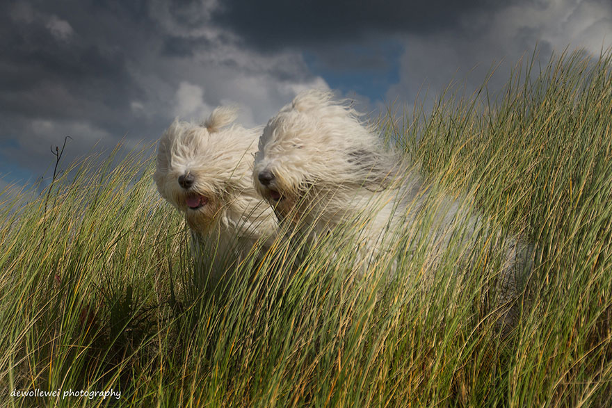 old-english-sheepdog-dog-sisters-sophie-sarah-cees-bol-8