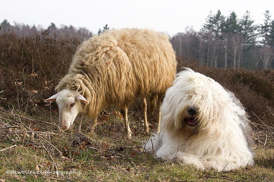 old-Inglês-sheepdog-dog-irmãs, Sophie-Sarah-cees-bol-9