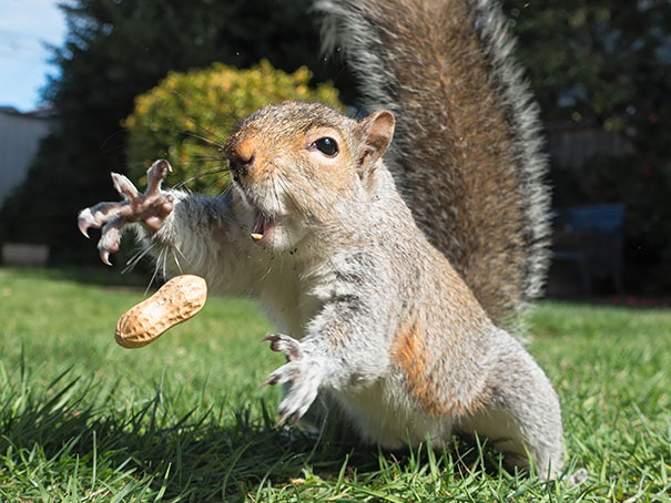 Squirrel Trying To Catch Peanut