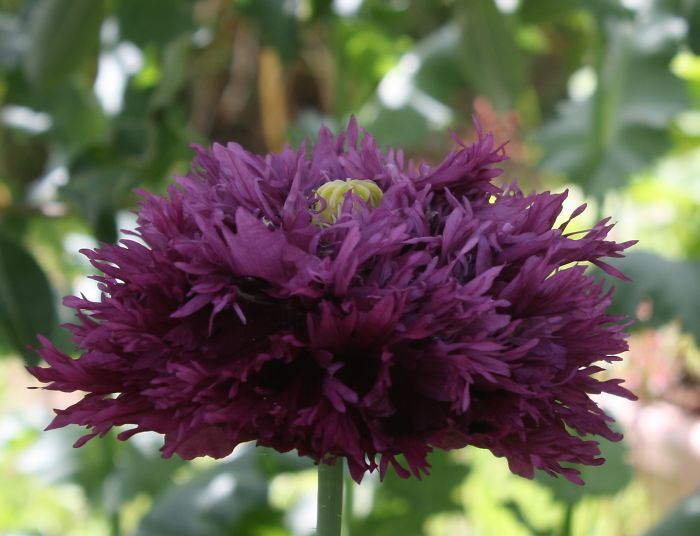 Our Purple Feather Poppy, Dark Deep And True. Preciouspawspoppies.org