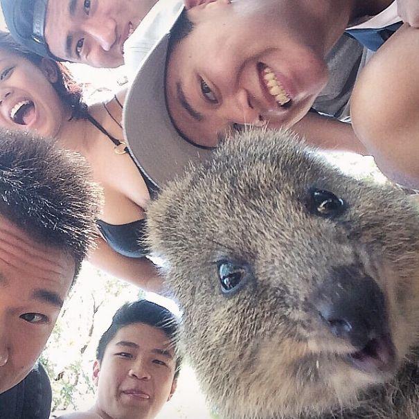 Quokka Selfie | Bored Panda