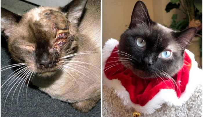 A Dramatic Before-And-After Of Benny The Siamese