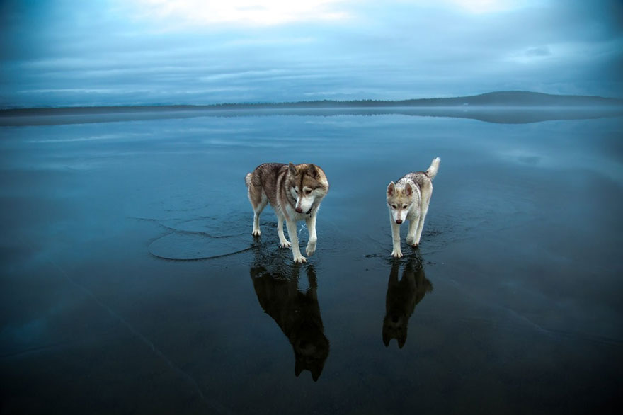 siberian-husky-frozen-lake-dog-fotos-fox-Grom-10