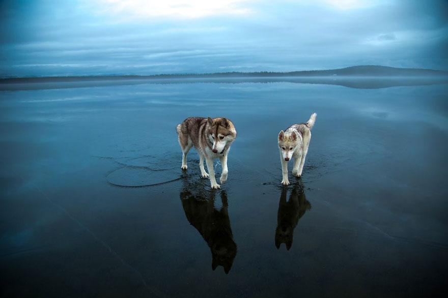 siberian-husky-frozen-lake-dog-photos-fox-grom-10