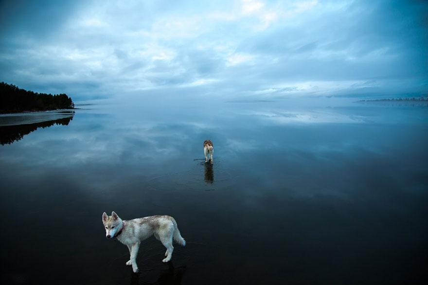 siberian-husky-frozen-lake-dog-photos-fox-grom-11