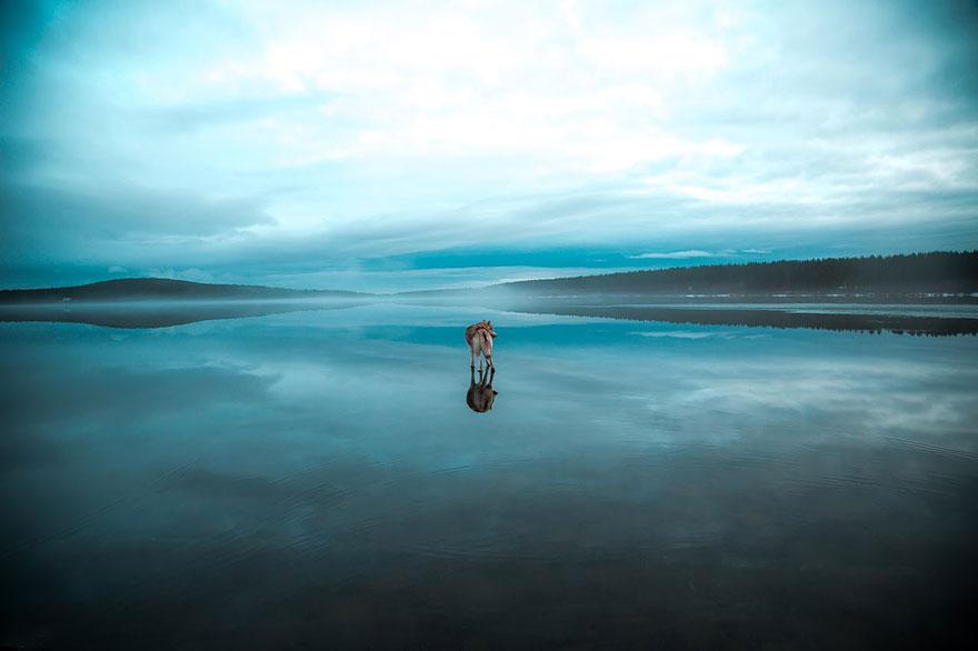siberian-husky-frozen-lake-dog-photos-fox-grom-7