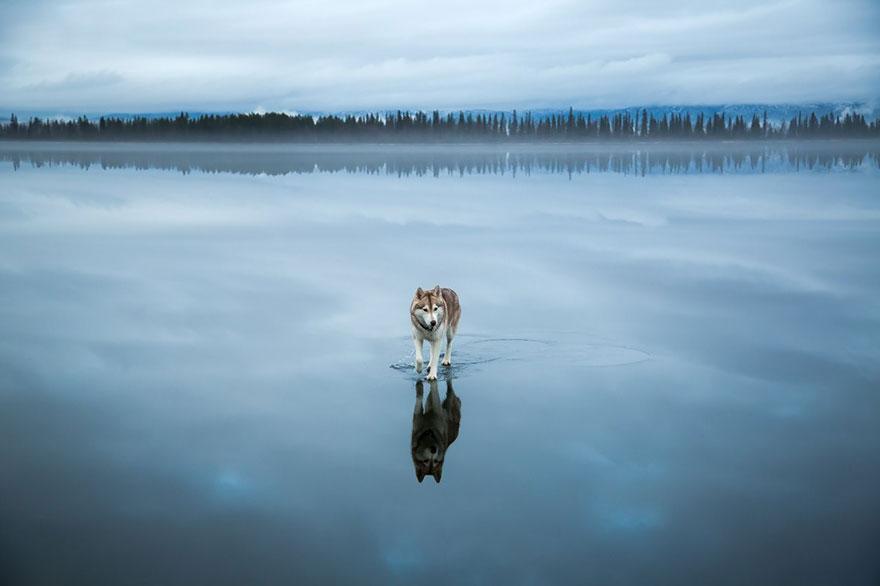 siberian-husky-frozen-lake-dog-photos-fox-grom-8