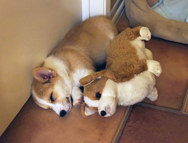 Corgi And Stuffed Animal