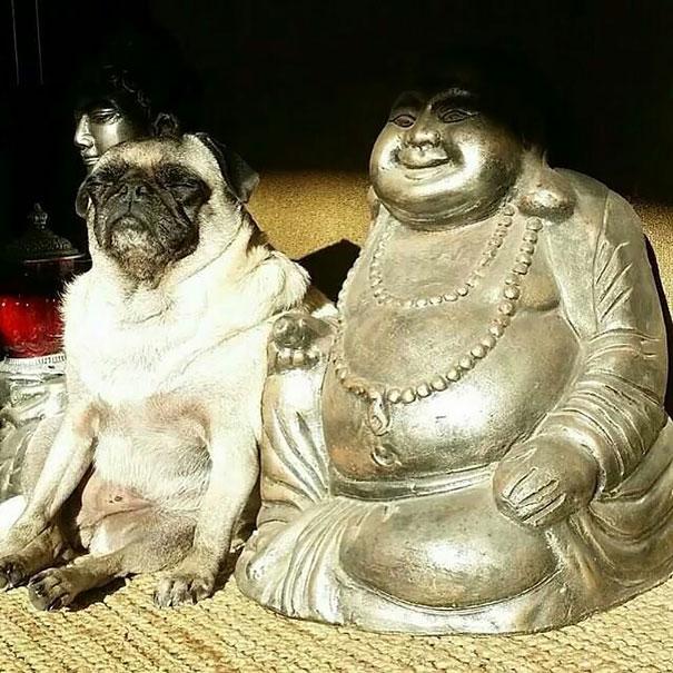 Buddhist Pug