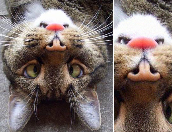 Cat Has Right-side Up Angry Beaver On His Face