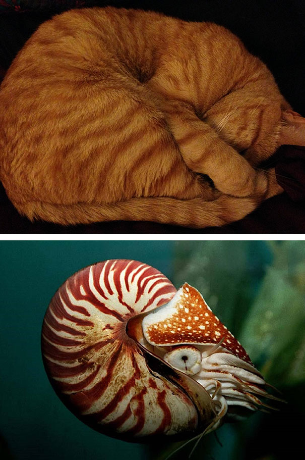 Nautilus Cat